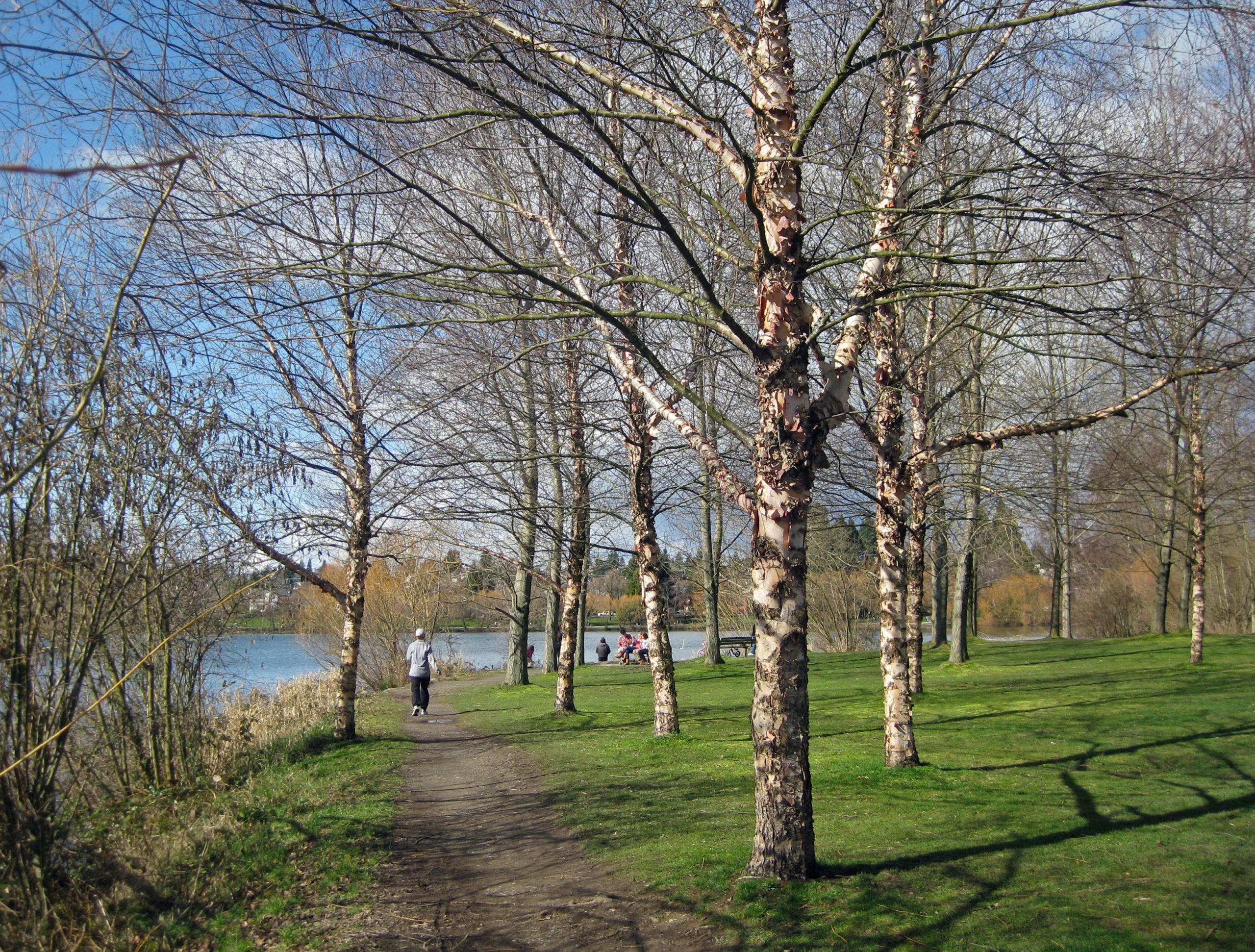 A gaggle of birch trees, bark peeling. Green Lake. (Seattle, March 3, 2013)