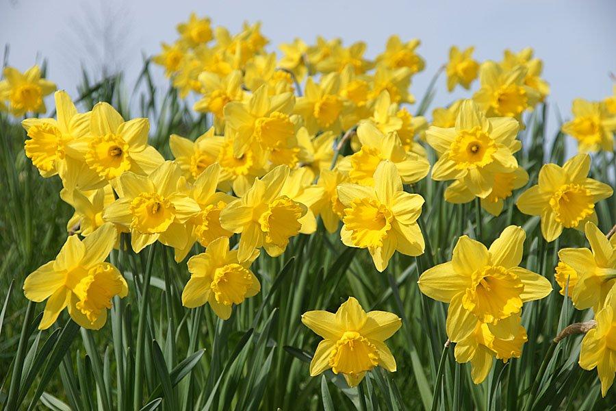 Daffodils (Photo: FreeFoto.com)